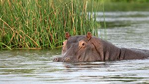 Hippo on Lake St. Lucia Boat Cruise