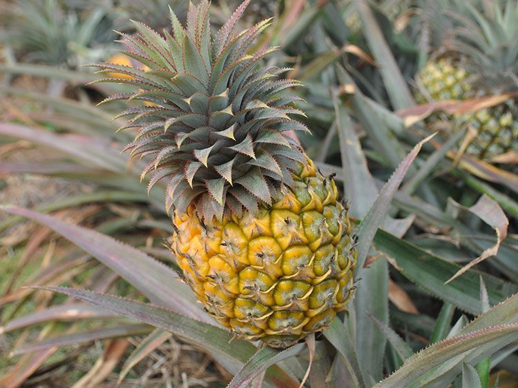 Amorello Guided Pineapple Tour