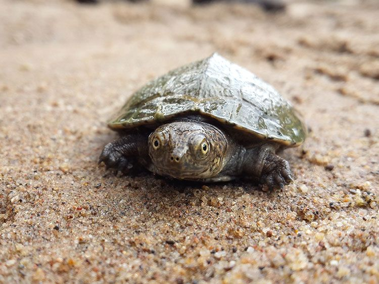 Kosi Bay - Turtle Hatchling