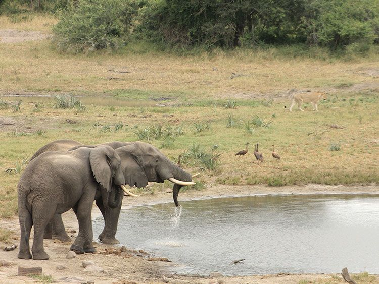 Hluhluwe–Umfolozi Game Reserve Elephant at Watering Hole