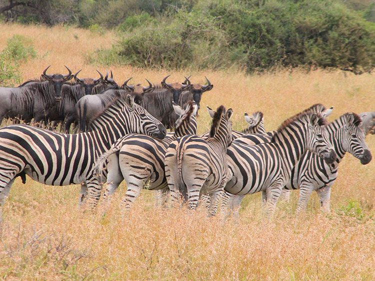 Hluhluwe–Umfolozi Game Reserve Zebra and Wildebeest