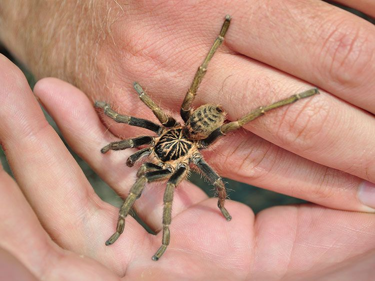 Amorello Spider Walk Baboon Spider